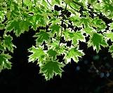 Norway maple Acer platanoides, cultivar ´Drummondii´, leaves