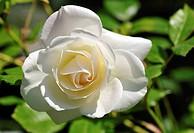 White Rose (Rosa), Mainau Island on Lake Constance, Baden-Wuerttemberg, Germany, Europe