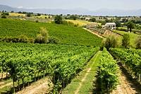 Vineyards in Umbria, Italy, Europe