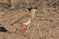 Crowned Plover _ standing / Vanellus coronatus