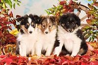 Sheltie dog _ three puppies sitting in autumn foliage