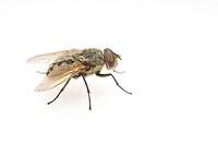 Common Housefly (Musca domestica)