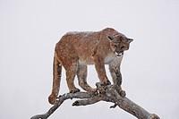 Cougar (Felis concolor), on a tree, Montana, USA
