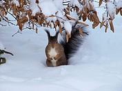 -Squirrel in Shönbrunn Park in Winter- Wien(Austria).