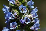Crab spider (Thomisus onustus) on flowering Canary Tower of jewels (Echium webbii), endemic to La Palma, Canary Islands, Spain, Europe