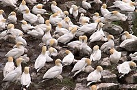 Bird rocks at Cape St. Mary´s ecological seabird reserve, Avalon Peninsula