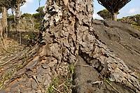 Canary Islands Dragon Tree (Dracaena draco) on Socotra island, UNESCO World Heritage Site, Yemen