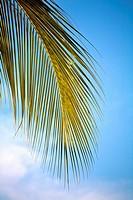 Palm Leaf and blue sky, Caribbean