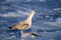 Herring Gull munching Codfish / Larus argentatus
