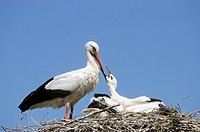 White Stork feeding squabs in nest / Ciconia ciconia