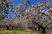 Co Armagh,Ireland,Blossoming trees in an apple orchard