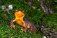 A coast range newt walking over mossy rock