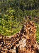 Elk Falls Provincial Park, British Columbia, Canada, Tree stump in the forest