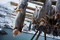 Fishes drying  Lofoten islands  Norway