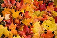 Red and yellow maple leaves on the ground in Vermont, New England, United States of America, North America