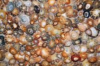 Common Limpet Shells Patella vulgata, on coast at Bamburgh, Northumberland, England