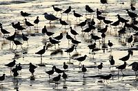 Redshank Tringa totanus, flock searching for food at low tide, Texel, Holland