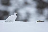 Rock Ptarmigan Lagopus mutus adult, white winter plumage, on snow covered ridge, Cairngorm Mountains, Highlands, Scotland
