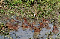 Capybara Hydrochaerus hydrochaeris group, resting in muddy pool, Pantanal, Mato Grosso, Brazil