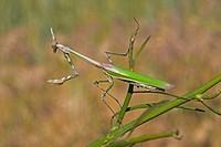 Conehead Mantis Empusa pennata adult female, on stem, Spain