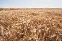 Ripe wheat field, Alberta, Canada