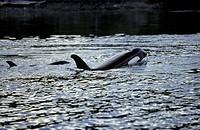 Orca, Killer Whales, Johnstone Straight, BC