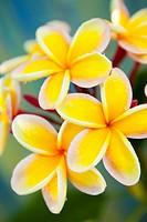 Hawaii, Oahu, Cluster of plumeria blossoms.