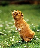guinea pig _ standing on hindpaws
