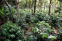 Coffee Plants, Beneficio de Cafe La Azotea, Jocotenango, Antigua, Guatemala