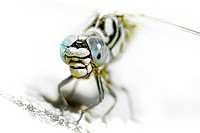 Dragonfly, Gomphus simillimus.