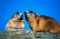 Alpine Marmot, Alpine Marmots, Marmot, Marmots, Marmota marmota, Animal, Animals, mammal, mammals, european, alps, Europe, alpine, landscape, meadow, ...