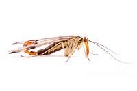 Scorpion flies Panorpa communis