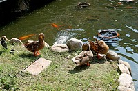 High angle view of duck