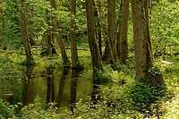 Bialowieza Forest National Park  Poland  Spring  Forest river