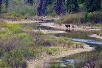 Moose and calf in Rocky Mountain meadow near Jasper, Alberta, Canada.