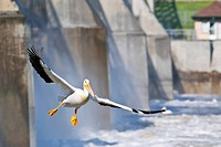 American White Pelican or Rough_billed Pelican Pelecanus erythrorhynchos in flight, over the Red River. Lockport, Manitoba, Canada.