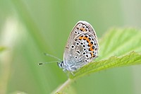 Silver-studded Blue, Plebejus argus on a leaf  Underwing markings clearly visible  Milovice, Czech Republic