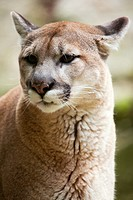 Mountain Lion - Puma concolor - This mountain lion is in captivity at Squam Lakes Natural Science Center in Holderness, New Hampshire USA and like mos...