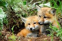 Red fox Vulpes vulpes Kits