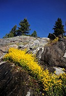 Wet seeps and yellow monkey flowers on rock face in the Lamar Valley