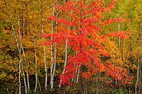 Red maple and birch trees