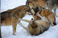European grey wolves playing fight Canis lupus, captive  Bayerischerwald National Park, Germany