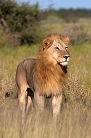 African lion Panthera leo - Male, Etosha National Park, Namibia