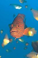 Egypt, Red Sea, Coral grouper Cephalopolis miniata