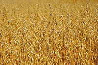 Field with ripe oats Avena