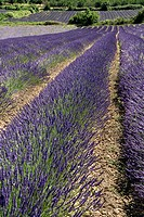 France, Provence, Auribeau, Lavender fields