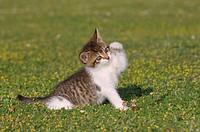 Germany, Bavaria, Kitten playing in meadow
