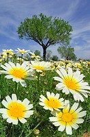 Spain, Mallorca, Meadow, Garland Chrysanthemum Chrysanthemum coronarium, close up