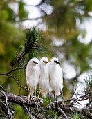 Snowy Egret Egretta thula chicks huddling together for warmth near San Francisco, California  This colony of egrets chose to mate, breed and birth abo...
