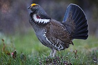USA, Wyoming, Grand Teton National Park, Blue grouse Dendragapus obscurus